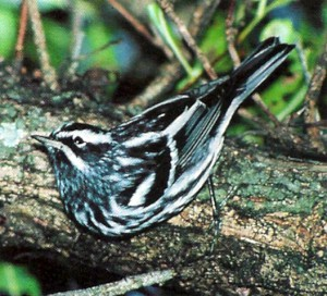 The black-and-white warbler