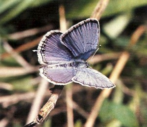 Texas tailed blue